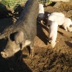 Feeding Swill To Pigs