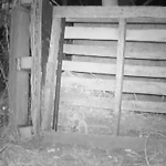Fox Caught On Game Camera