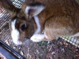 The Wild Side Of Rabbit Breeding