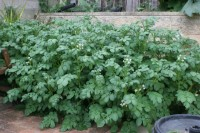 Dutch Cream potato plants flowering