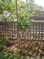 Ellendale mandarin tree.