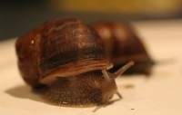 A garden snail. Could you eat it?