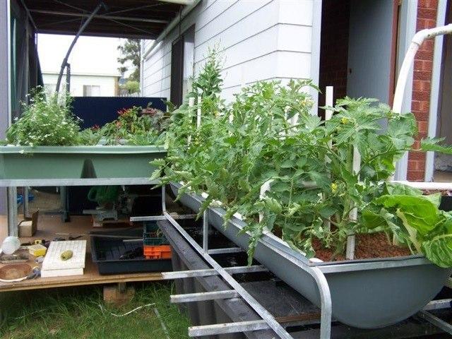 Backyard aquaponics in gerringong green for Fish aquaponics garden