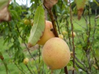 Feral peaches growing on the tree.
