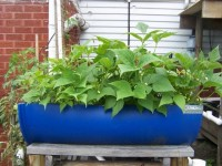 Half-barrel aquaponic grow bed from the side