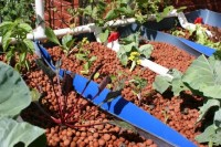 Half-barrel aquaponic grow beds with seedlings