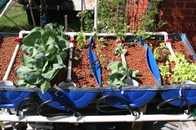 Backyard aquaponics in gerringong green for Hydroponic grow bed