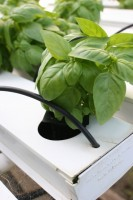 Closeup of hydroponic basil seedling