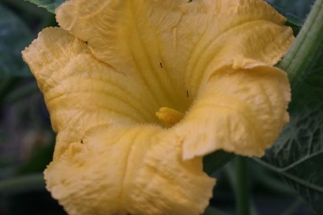 ... male flower...