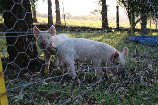 Puppies and Piglets Available   Illawarra
