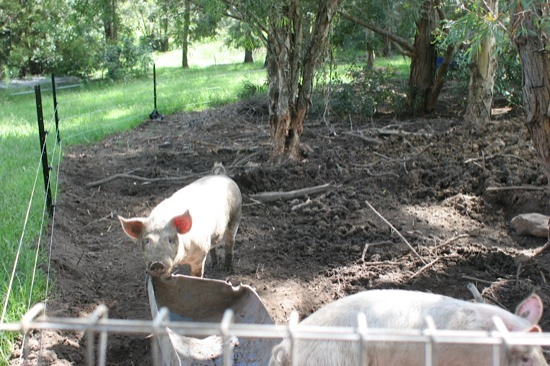 Pig Tractors For Clearing Land Green Change Com