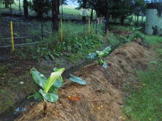 Backyard swale with bananas during rain