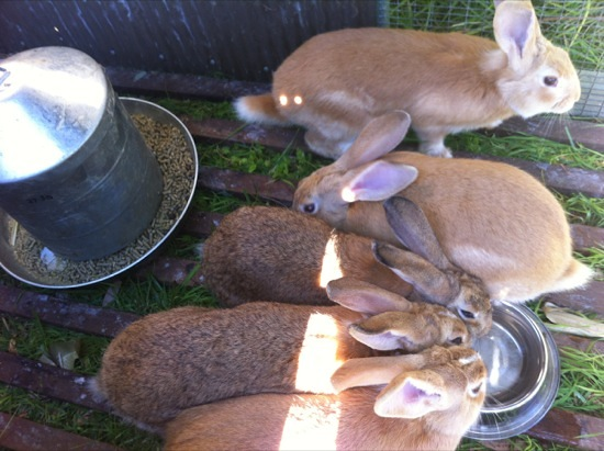 Meat rabbits in pastured pen