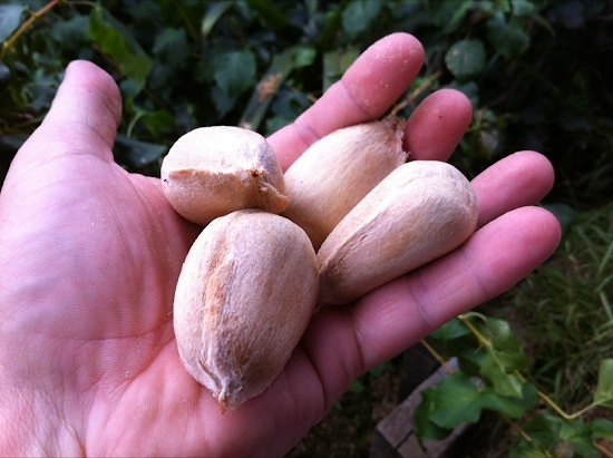 Four raw bunya nuts in hand